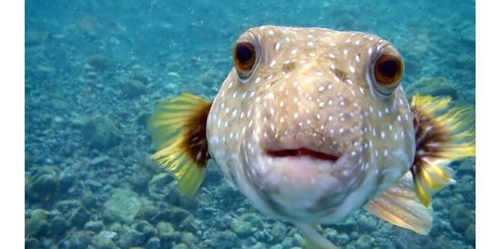 Why do japanese eat fugu motivist japan for Japanese puffer fish